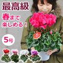 シクラメンの鉢植え(5号鉢)誕生日のギフトや、お歳暮 クリスマスのプレゼントに。赤(レッド)紫(パープル)ピンク、白(ホワイト)から。退職祝いや合格祝いの贈答(ギフト)に長持ちする大きい鉢花を。送料無料 2016