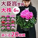 シクラメンの鉢植え(6号鉢)誕生日のギフトや、お歳暮 クリスマスのプレゼントに。赤(レッド)紫(パープル)ピンク、白(ホワイト)から。退職祝いや合格祝いの贈答に長持ちする大きい鉢花を 送料無料 2016