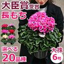 【シクラメン】6号 鉢(鉢植え)お歳暮 誕生日 プレゼント ギフト ローゼス チモ アイスプリンセス 鉢花 送料無料