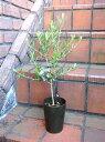 オリーブ ガーデニング ガーデン 苗木 ギフト【花遊び】『オリーブの木・3号 ・ネバティロブランコ』