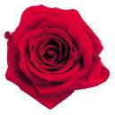 【プリザーブド】大地農園/ローズ いずみ ショート レッド 9輪/03483-321【01】【取寄】《 プリザーブドフラワー プリザーブドフラワー花材 バラ(ローズ) 》