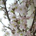 【生花・予約10】開花調整してお届け!すぐ咲く桜の枝(1束約5本入り) ■届日限定:予約1週間前[1束]
