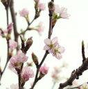 【生花】啓翁桜(100センチ程度)::※開花について説明をお読みください。[10本]