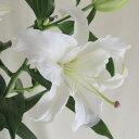【生花】カサブランカ(白)2L::[5本]