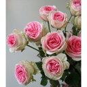 【生花】SPバラ ミミエデン(ピンク×白)50cm[10本]