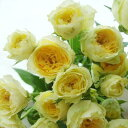 【生花】SPバラ ピスカップ(淡い黄色・カップ咲き)[10本]