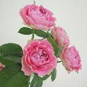 【生花】SPバラ スプラッシュセンセーション(ピンクカップ咲きギザ弁)[10本]