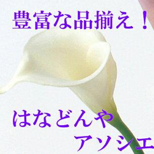 カラーリリィ ホワイト