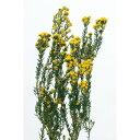 【プリザーブド】大地農園/フレンチフィリカ 45g イエロー/04830-500【01】《 プリザーブドフラワー プリザーブドフラワー花材 その他プリザーブドフラワー花材 》