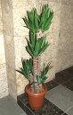 青年の木(ユッカ) 110cm