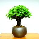 敬老の日 盆栽 ニレケヤキ ミニ盆栽《別格》樹齢8年 丸笠樹形 極太幹の楡欅ミニ