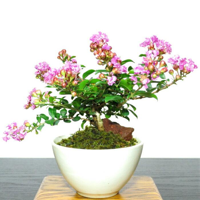 父の日 盆栽 ミニ 桜色の姫花 姫サルスベリミニ...の商品画像