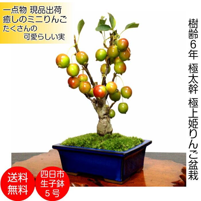 盆栽ミニ極太幹の姫リンゴミニ盆栽癒し植物花が咲く盆栽出産祝い盆栽風水開運盆栽ミニ盆栽盆栽ミニ引っ越し