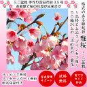 即日出荷可 盆栽 桜 雅桜sakura Sランク特上樹形美 極太幹の中輪一重咲き 樹齢3年 高級手作
