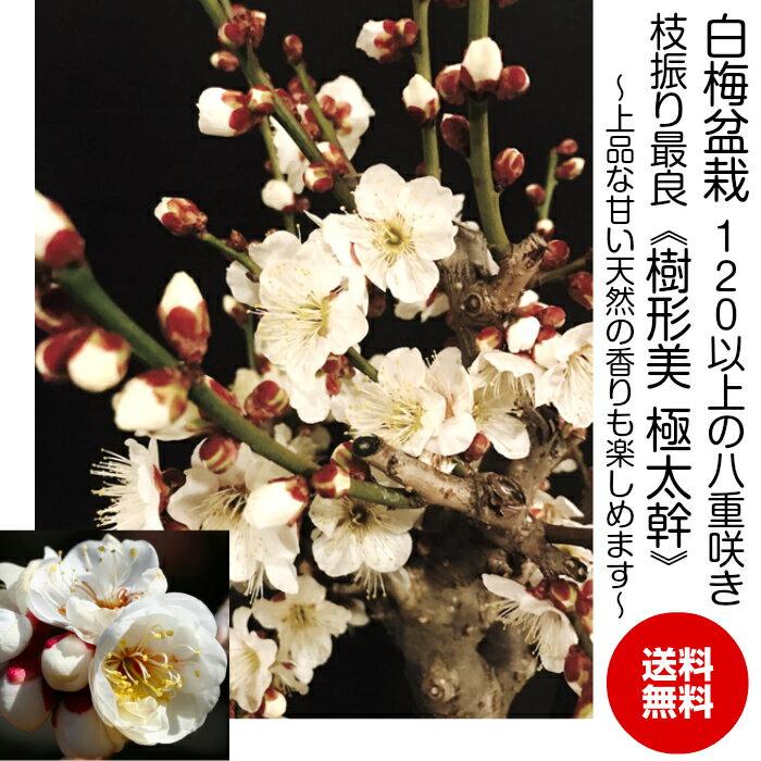 盆栽白花梅盆栽一級品120個以上の蕾大輪花の白梅盆栽樹齢5年極太幹の梅盆栽八重咲き高級手作り四日市鉢