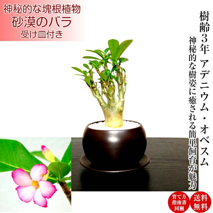 多肉植物塊根植物即日出荷アデニウム砂漠のバラミニ観葉×盆栽育て方指南書同梱《幸運招来》癒し与える塊根