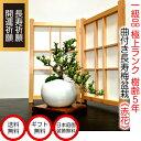 盆栽 父の日 極上ランク 曲付け幹 長寿梅 福寿の長寿梅 赤花 ミニ盆栽 3,5号鉢 極上樹の本格長