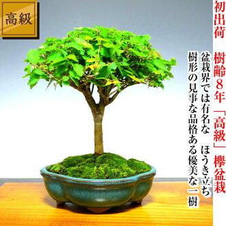日本櫸樹盆景 W 提出了頒獎季節