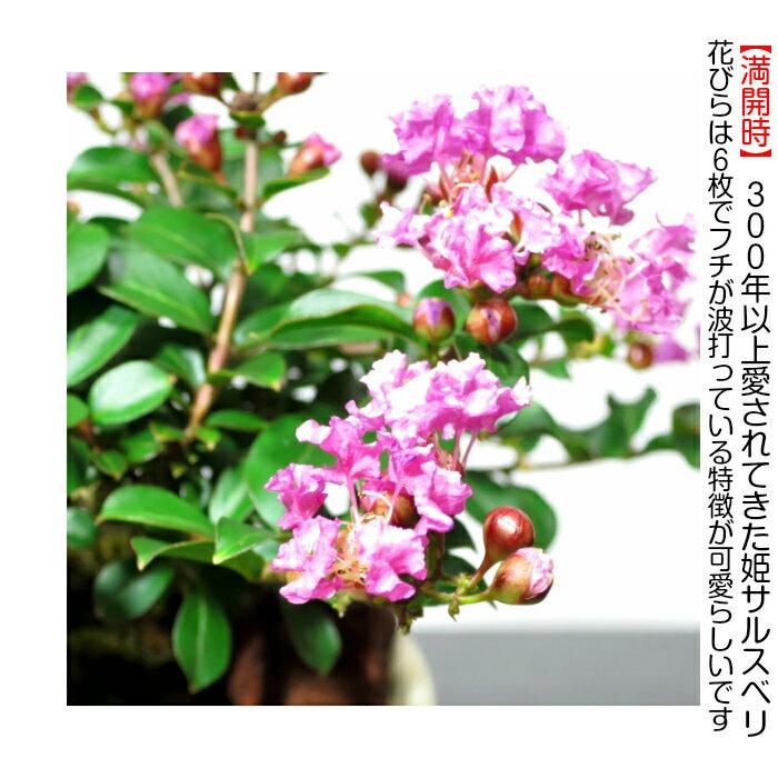 盆栽 ミニ 桜色の姫花 姫サルスベリミニ盆栽 ...の紹介画像2