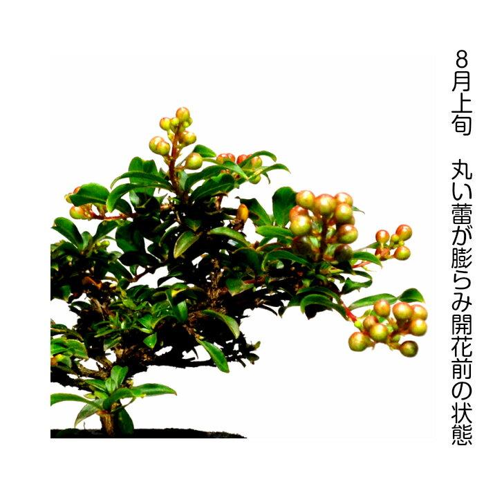 盆栽 ミニ 桜色の姫花 姫サルスベリミニ盆栽 ...の紹介画像3