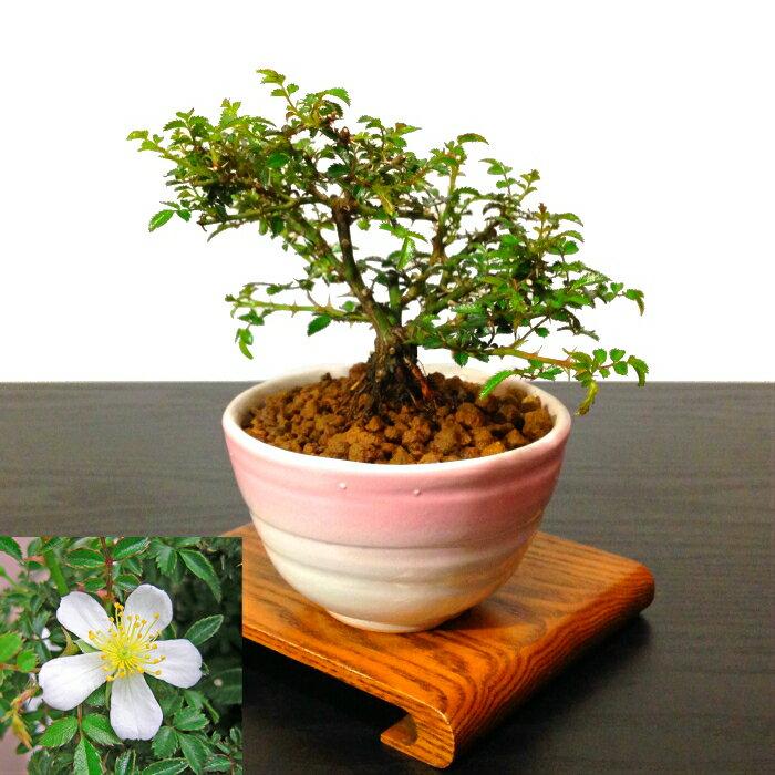 盆栽父の日バラ樹齢3年屋久島バラ盆栽世界最小サイズの小輪一重の白花アジアンバスケット盆栽盆栽ミニ盆栽