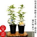 盆栽 金木犀 銀木犀 即日配送可 高級手作り四日市鉢5号【盆...