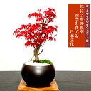 盆栽 もみじ あす楽 趣味 人気 ギフト 無料 3冠1位受賞 記念樹 鉢植え シ