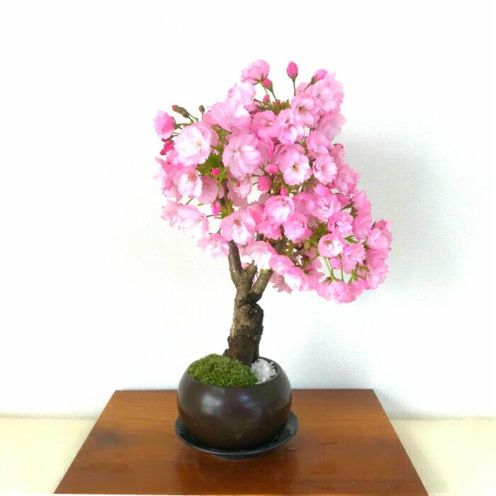 盆栽 桜 極太幹の旭山桜盆栽 樹齢5年 八重咲き...の商品画像