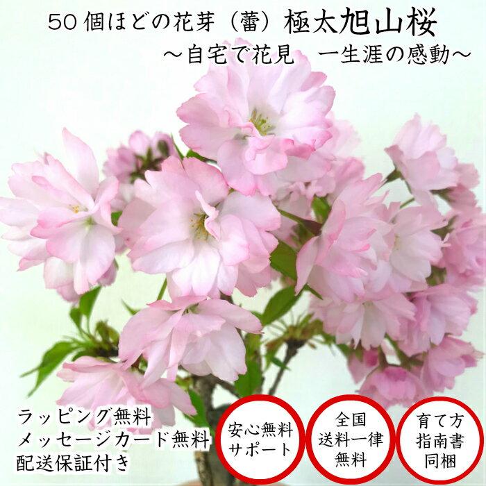 盆栽 桜 極太幹の旭山桜盆栽 樹齢5年 八重咲...の紹介画像2