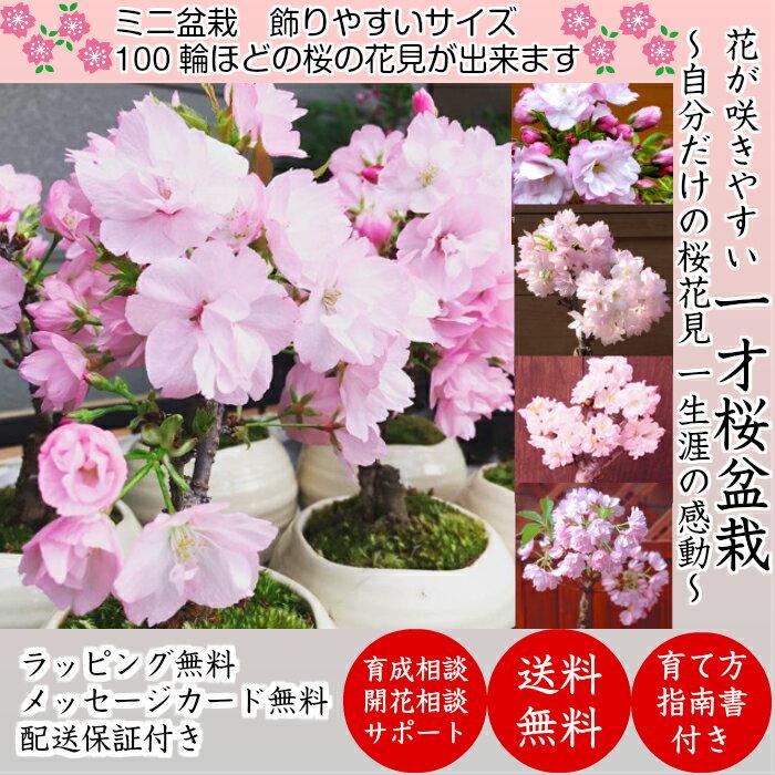 盆栽桜一才桜樹形美ミニ盆栽樹齢5年50前後の蕾付樹形と枝振りにこだわった一級品桜ミニ盆栽可愛らしいサ