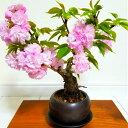 盆栽 桜 牡丹桜 盆栽 Sランク 特上 極太幹 大輪 八重桜 樹齢5年 30程の