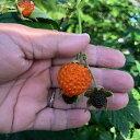キイチゴ 苗 【木いちご】 根巻き苗 カジイチゴ 木苺 ベリー 苗木 果樹苗