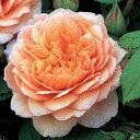 バラ苗 イングリッシュローズ 【グレイス 大輪 四季咲き】 2年生接木大苗 10リットル 鉢植え 薔薇 ローズ