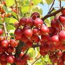 リンゴ 姫リンゴ【アルプス乙女】 1年生 接木 ポット苗 林檎 苗 果樹 果樹苗