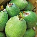 ◆送料無料◆フェイジョア 苗 【アポロ】 3年生 接木 大苗 フィジョア パイナップルグアバ 珍果 苗 果樹 果樹苗