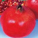 ザクロ 苗 【カリフォルニアザクロ】 2年生 挿し木 スリット鉢植え 柘榴 石榴 若榴 苗木 果樹 果樹苗