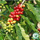 コーヒーの木【ブルーマウンテン】 2年生実生苗 ポット苗 熱帯果樹 観葉植物 coffee インテリアグリーン