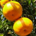 オレンジ 苗木 【ポンカン】 2年生 接ぎ木 ポット苗 蜜柑 みかん 雑柑 苗 常緑 果樹 柑橘 柑橘苗木 果樹苗木