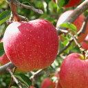 リンゴ 【世界一】 1年生 接木 ポット苗 林檎 苗 果樹 果樹苗