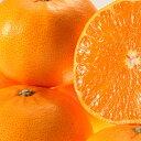 せとか 苗木 【せとか】 2年生 接ぎ木大苗 蜜柑 みかん 温州 苗 常緑 果樹 柑橘 柑橘苗木 果樹苗木