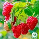 ラズベリースタンザ【二季なり】 果樹苗木 果樹苗 キイチゴ 苗