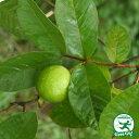 熱帯果樹 キンググァバ (赤実) ポット苗 果樹苗木 果樹苗 苗木 熱帯果樹 観葉植物 南国 珍しい熱帯果樹