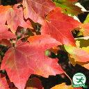 アメリカハナノキ レッドサンセット 0.9mポット苗 苗木 庭木 落葉樹 シンボルツリー紅葉 もみじ 楓 カエデ