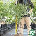 【ココスヤシ】耐寒性のあるヤシお庭に植えるヤシの木