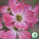 ◆予約販売(9月上旬〜下旬発送)◆ 花水木ハナミズキ 赤花接ぎ木 苗鉢植え 苗木 庭木 落葉樹 花木