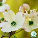 ハナミズキ 苗 【ハナミズキ 白】 接ぎ木 ポット苗 花水木 白花 苗木 鉢植え 庭木 落葉樹 花木 シンボルツリー