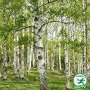 シラカバ 苗 【シラカバ】 約0.9m 1年生 ポット苗 白樺 苗木 植木 庭木 シンボルツリー 落葉樹 高木