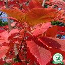 目薬の木【メグスリノキ 樹高1.8m 根巻き 大苗】落葉樹 シンボルツリー