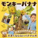 ■エントリーでポイント5倍■ バナナ 苗 【矮性バナナ ドワ...