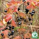 ナツハゼ 夏櫨根巻き 苗 苗木庭木 落葉樹 低木 生垣 紅葉